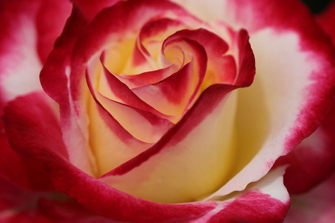 red-rose-lovely-petals