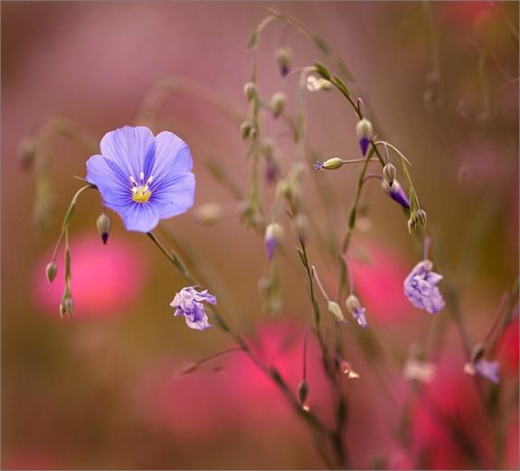 lavender-flowers-bokeh