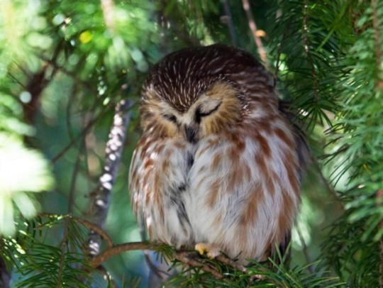 sleepy-owl
